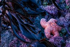 Stars.IMGP2190 (candysantacruz) Tags: starfish ocean bandon oregon pacificocean oregoncoast beach tidepool lowtide seaweed
