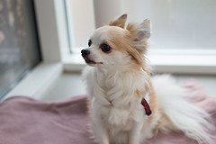 Yuki ٩(๑❛ᴗ❛๑)۶ (SanctyYumi) Tags: chihuahua dog cute animals チワワ イヌ