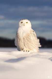 ''Monticule!'' Harfang des neiges-snowy owl