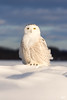 ''Monticule!'' Harfang des neiges-snowy owl (pascaleforest) Tags: wwwpascaleforestphotoscom blogue oiseau bird animal owl hibou nikon nature wild wildlife faune québec canada winter hiver lumière light neige snow snowy passion