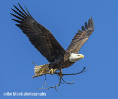 Bald Eagle w branch NJ shore (Mike Black photography) Tags: bald eagle bird nature birding canon 5ds 600mm 800mm nj new jersey shore 1dx 400mm f28 l is usm lens black white wildlife raptor feathers sky blue february 2018 mike