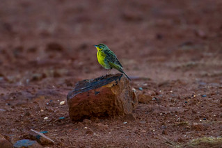 Yellow-breasted Pipit, Verlorenvallei, Dullstroom, Dec 2017