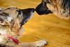 Nose Kiss (Karen McQuilkin) Tags: yo zeke nose kiss shepherds twodogs maori greeting maorigreeting