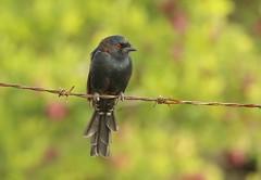 Fork-tailed Drongo/Drongo brillant (safrounet) Tags: namibie namibia oiseau bird alouette lark dove tourterelle drongo roller rollier francolin
