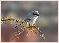 Great Grey Shrike-Jordan (Hani Kaddumi) Tags: great shrike wild jordan nikon coolpix p900