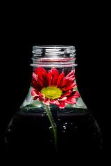 Bottled Beauty! (bp-122) Tags: macromondays inabottle macro mondays bottle flower beauty bottled toplit immersed captured nikkor nikon d750 water liquid