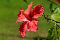Hibiskus rot (Peter Goll thx for +6.000.000 views) Tags: 2014 mallorca urlaub hibuskus rot red flower plant pflanze bokeh macro makro nikon nikkor d800 hibiscus hibiskus