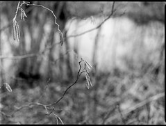 budding tree forms, wetlands, reflections, Carrier Park, Asheville, NC, Mamiya 645 Pro, mamiya sekor 80mm f-2.8, Ilford FP4+, Moersch Eco Film Developer, early February 2018 (steve aimone) Tags: buds saplings branches wetlands reflections carrierpark asheville northcarolina mamiya645pro mamiyaprime primelens mamiyasekor80mmf28 blackandwhite monochrome monochromatic landscape 120 film 120film mediumformat