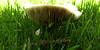 Mushroom gills (cod_gabriel) Tags: mushroom fungus ciupercă ciuperca gills mushroomgills closeup bokeh dof depthoffield shallowfocus shallowdof shallowdepthoffield grass iarbă mogoşoaia lamella lamellas lamellae