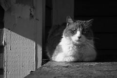 My Little Buddy (B&W) ... (vanessa violet) Tags: cat 51animal light sun nap cozy outdoors mylittlebuddy snooze buddy catnap sleep wood 52in2018challenge