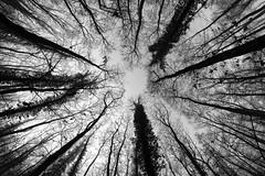 0705 Winter Forest (Hrvoje Simich - gaZZda) Tags: blackwhite outdoors nature winter nikon nikond750 samyang1228 gazzda hrvojesimich