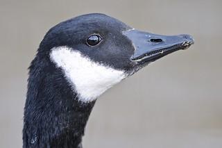 DSC_3169 Canada Goose