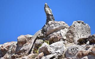 Lizard 16