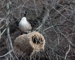 Goose-1698 (gpferd) Tags: animal bird canadagoose geese goose nest plant reservoir tree water newmanstown pennsylvania unitedstates us