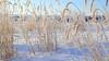 Grass (Red Calf Studio) Tags: colleenwatsonturner redcalfstudio winter february hoarfrost grass rollinghills nativeprairie oldbatocheroad southsaskatchewanriver