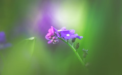 forget-me-not (Dhina A) Tags: sony a7rii ilce7rm2 a7r2 flower bokeh forgetmenot myosotis diaplan 100mm f28 bubble circle projector projection lens trioplan triplet