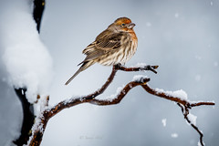 WARM IN THE COLD (Sandy Hill :-)) Tags: housefinch malehousefinch birds nature winter snow snowing cold freezing fluffy colorful sandyhillphotography sandyhill snowflakes vancouverisland vancouverislandbirds birdsofthepacificnorthwest birdsofnorthamerica birdsofbc
