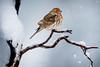 WARM IN THE COLD (Sandy Hill :-)) Tags: housefinch malehousefinch birds nature winter snow snowing cold freezing fluffy colorful sandyhillphotography sandyhill snowflakes vancouverisland vancouverislandbirds birdsofthepacificnorthwest birdsofnorthamerica birdsofbc