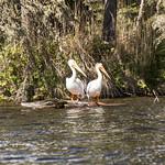Pelican, Waskesiu Lake, Prince Albert National Park thumbnail