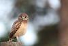 Owlet (Megan Lorenz) Tags: burrowingowl owl owlet bird avian birdofprey nature wildlife wild wildanimals threatenedspecies statethreatened travel 2017 florida mlorenz meganlorenz