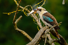 The laughing Kookaburra (FotoCorn) Tags: zoo avifauna kookaburra lachvogel kingfisher vogel fisher fish