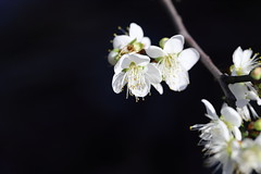 IMG_0944M Plum blossom, 梅の花, 梅花 (陳炯垣) Tags: flower blossom nature