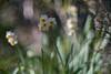 _DSC4680a (kymarto) Tags: bokeh bokehlicious bokehphotography dof depthoffield flowers flowerphotography nature naturephotography beauty beautiful sony sonyphotography sonya7r2 oldlens vintagelens dallmeyersupersixanastigmat narcissus