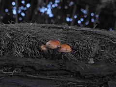 Mushrooms (Explored) (Sharon B Mott) Tags: mushrooms fungi fungus nature treestump winter january thryberghcountrypark