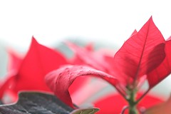 Christmas was a Month Ago (haberlea) Tags: home athome poinsettia plant red green leaves christmas