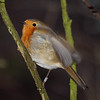 2018_01_0075 (petermit2) Tags: robin erithacusrubecula erithacus fairholmes ladybower derbyshire
