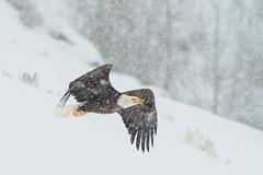 Eagle in a Snow Storm (Amy Hudechek Photography) Tags: bald eagle storm snowflakes wyoming nature wild wildlife raptor amyhudechek nikond500 nikon200500f56 winter january