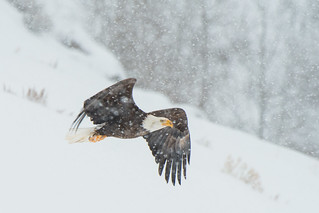 Eagle in a Snow Storm