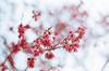 山櫻花 (紅襪熊(・ᴥ・)) Tags: kodak gold 100 kodakgold100 expired pentax m42 spf 底片 film 銀鹽 filmphotography 過期 autotakumar55mmf18 takumar 55mm f18 55 18 bokeh autotakumar 陽明山 sakura 櫻 櫻花 cherryblossoms pink flower flowers blossom blossoms castle cherry cherryblossom cherryblossomfestival cherrytree cherrytrees garden light macro nature park plant sky spring travel tree trees white さくら サクラ 春 桜 花 花見 賞櫻 日本 japan 粉 粉紅 山櫻花