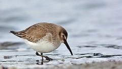 268 (2) Dunlin (srypstra) Tags: dunlin esquimaltlagoon sandpiper