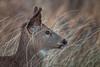 Field and Stream (Kathy Macpherson Baca) Tags: whitetail marsh animal deer mammal world beach nature planet doe wildlife longisland seawheat