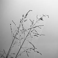 something old (RubyT (I come here for cameraderie!)) Tags: spiderweb canona620 черноеибелое bw nb bn mono monocromo monochrome blackandwhite schwarzweiss noirblanc blancoynegro explore21