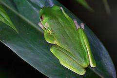 Pelodryadidae: Nyctimystes infrafrenatus infrafrenatus (White-lipped Tree Frog, Giant Tree Frog) 3 (Kristof Zyskowski and Yulia Bereshpolova) Tags: hylidae pelodryadidae nyctimystes infrafrenatus whitelippedtreefrog gianttreefrog indonesia rajaampat waigeo newguinea