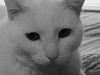 Black And White Of Peaches. (dccradio) Tags: lumberton nc northcarolina robesoncounty inside indoors cat meow kitty kittycat animal housecat pet domesticanimal feline bw blackandwhite whitecat whiskers nose eyes ears canon powershot elph 520 hs