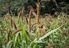 Millet (J J D) Tags: culture millet grain champ