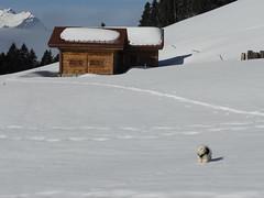 Toute cette neige pour moi toute seule ??? Is this snow only for me ??? (Annelise LE BIAN) Tags: naïs montagne neige leysin coth coth5 bichonfrisé chien