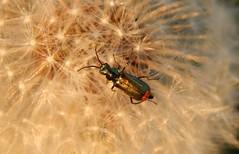 Bug´s life (Ostravak83) Tags: ostrava nikoncoolpix 2016 příroda nature hmyz insect brouk beetle pampeliška dandelion makro macro detail closeup květina flower jaro spring