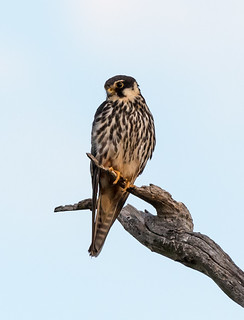 Eurasian Hobby-North Lake.jpg