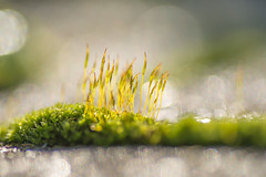 Moss (hetty m) Tags: winter cold moss mos vrozen macro green