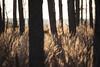 Dance of grasses (xkolba) Tags: tree sunrise outdoor landscape podlasie canoneos5dmkii bokeh forest grass light