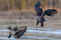 Old Vs Young (eric-d at gmx.net) Tags: seaeagle eagle seeadler eric ngc haliaeetus albicilla haliaeetusalbicilla