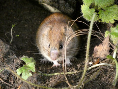 Bank vole (Deanne Wildsmith) Tags: earthnaturelife staffordshire wolseleynaturecentre vole bankvole