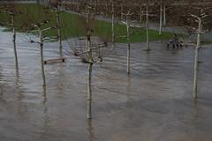 Hochwasser am Main-bw_20180107_7327.jpg (Barbara Walzer) Tags: 070118 hochwasser main mainufer