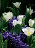 Blue and White (Wonder Kitsune) Tags: hyacinth tulipcultivars tuliphybrids tulips blue blueflowers fragrantflower whiteflowers spring springflowers