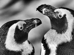 Yin und Yang - 陰陽 / 阴阳 (alterahorn) Tags: pinguin penguin yinyang 陰陽 阴阳 allwetterzoo münster zoo tierpark tiergarten sw bw nb olympus penf mzuiko mzuiko300mm 300mm teleobjektiv 陰陽阴阳 dxo