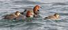 Redheads (Aythya americana) (Gavin Edmondstone) Tags: aythyaamericana redhead male female duck bronteharbour lakeontario oakville ontario